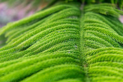 Palmespezies Phetchabun Thailand Stockbilder