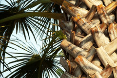 Palmestamm und -blätter im Sonnenlicht gegen den blauen Himmel Stockfoto