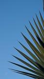 Palmette de Bismarck Photo libre de droits