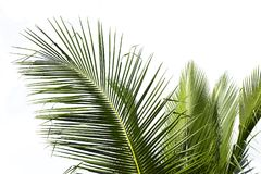 Palmette de noix de coco à une ferme Photographie stock