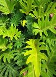 Palmette tropicale Images stock