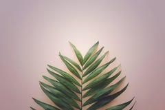Palmette tropicale sur le fond clair photographie stock