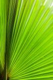 Palmette verte de sucre Photo libre de droits