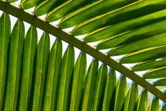 Palmettes de noix de coco Images stock