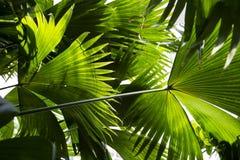 Palmettes vert clair Photo libre de droits