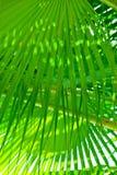 Palmettes vertes de frange Photographie stock