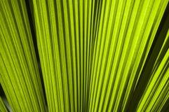 Palmettes vertes de ventilateur Photographie stock libre de droits