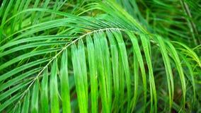 Palmettes vertes et fraîches dans la photographie en gros plan banque de vidéos