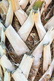 Palmetto Bark Close Up Stock Photo