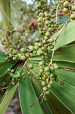 Palmetto Berries Closeup royalty free stock image