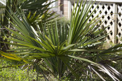 Palmetto Bush. Close up of a palmetto bush Stock Image