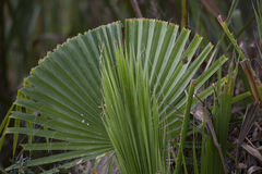 Palmetto Bush. Close up of a palmetto bush Royalty Free Stock Photos
