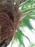 Palmetto ; Palmetto de Sabal Photo libre de droits
