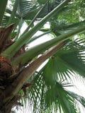 Palmetto & x28; Palmetto& x29 del Sabal; fotografia stock libera da diritti