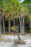 Palmetto forest on hunting island beach Royalty Free Stock Photography
