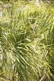 Palmetto leaves blowing sideways at Fort De Soto, Florida. Stock Photo