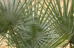 Palmetto Palm Fronds Background Royalty Free Stock Images