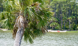 Palmetto palm trees in sub tropical climate of usa Royalty Free Stock Images