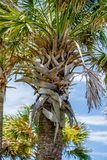 Palmetto palm trees in sub tropical climate of usa Stock Photo