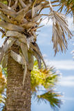 Palmetto palm trees in sub tropical climate of usa Stock Photography