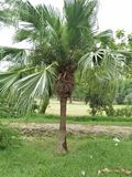 Palmetto & x28;Sabal palmetto& x29;. Sabal palmetto, also known as cabbage-palm, palmetto, cabbage palmetto, blue palmetto, Carolina palmetto, common palmetto stock photography