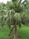 Palmetto & x28;Sabal palmetto& x29;. Sabal palmetto, also known as cabbage-palm, palmetto, cabbage palmetto, blue palmetto, Carolina palmetto, common palmetto stock image