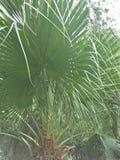 Palmetto & x28;Sabal palmetto& x29;. Sabal palmetto, also known as cabbage-palm, palmetto, cabbage palmetto, blue palmetto, Carolina palmetto, common palmetto stock photo