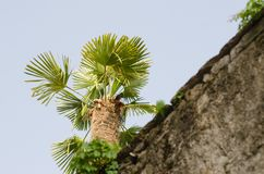 Palmetto tree over the wall. Tree set against a cloudless sunny blue sky Stock Image
