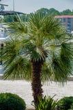 Palmetto tree set against a Carolina blue sky. Stock Photos