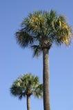 Palmettos di Charleston Immagini Stock