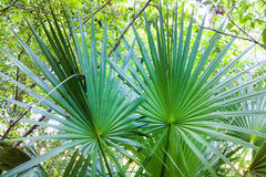 Palmettos in the Woods royalty free stock photo