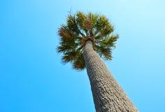 Palmettoträd Arkivbild