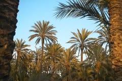 Palmewald in Elche oasis Alicante, Spanien stockfotografie