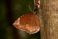 Palmfly común que bebe en árbol Foto de archivo