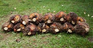 Palmfruit royalty-vrije stock fotografie