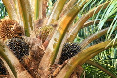 Palmier à huile Image stock