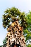 Palmier à sucre Photos stock