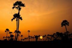 Palmier à sucre Photos libres de droits