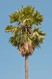 Palmier à sucre avec le ciel bleu Photo stock