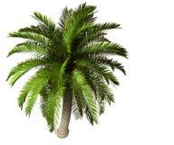Palmier illustration de vecteur
