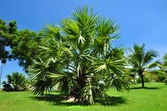 Palmier. Photos libres de droits