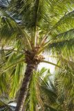 Palmier. Images libres de droits