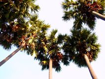 Palmier 49 Photo libre de droits