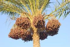 Palmier avec des dattes Photo libre de droits