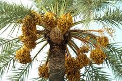 Palmier avec des dattes Photo stock