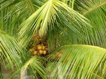 Palmier avec des fruits Images stock