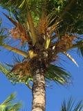 Palmier avec des noix de coco photographie stock libre de droits