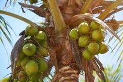 Palmier avec la noix de coco Image stock