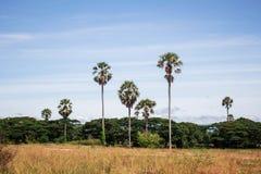 Palmier avec la prairie avec le ciel Photo stock