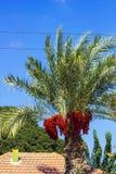 Palmier avec les dates rouges Image stock